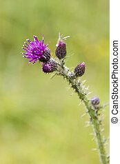 Close-up of a Thistle bloom, the national flower of Scotland