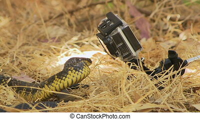 Close up of a tiger snake attacking a gopro - A tiger snake...