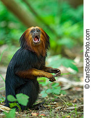 titi monkey - close up of a titi monkey (Simia personatus)