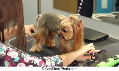 Close-up of a veterinarian combing hair on paws of a Yorkshire terrier, slow mo