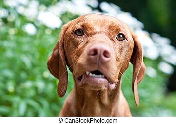 Close-up of a Vizsla Dog in a Garden