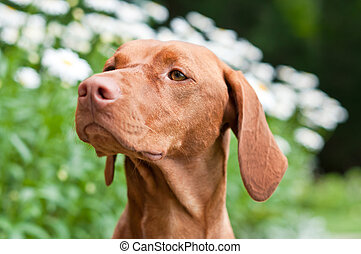 Close-up of a Vizsla Dog in a Garden