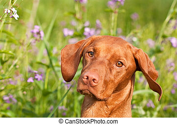 Close-up of a Vizsla Dog with Wildflowers