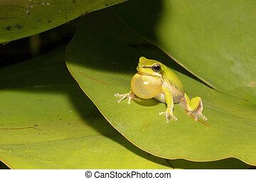 Wallum sedge frog - Close up of a Wallum sedge frog also ...