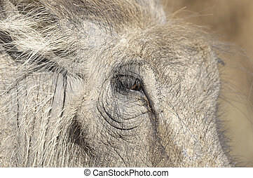 Close up of a warthogs face
