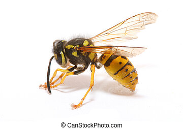 wasp - close-up of a wasp isolated on white