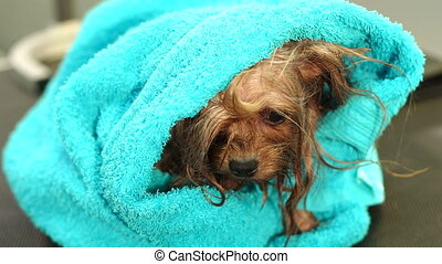 Close-up of a wet Yorkshire terrier wrapped in towel on a table at a vet clinic.