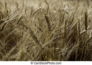 Close up of a wheat field ready for harvest