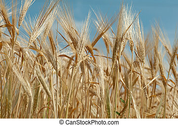 close up of a wheet against blue sky - A wheat field against...