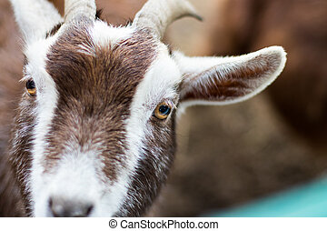 Close-up of a white brown goat looking into the camera.