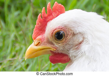 Close up of a White chicken