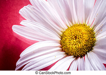 Close up of a White Daisy Flower