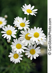 Close up of a white daisy in grass