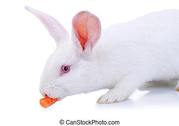 white rabbit eating a carrot
