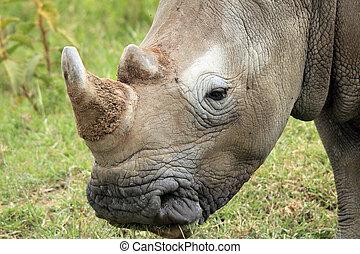 Close-up of a White Rhino (Ceratotherium Simum), Lake Nakuru, Kenya