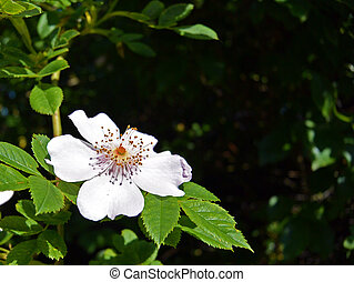 Close-up of a white wild rose on a dark background