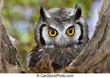 Whitefaced Owl - Close-up of a Whitefaced Owl; Otus Leucotis...