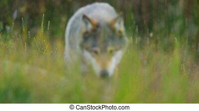 Close-up of a wild male wolf walking in the grass in the...