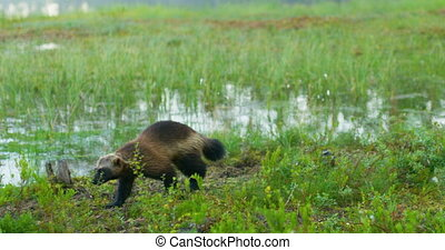Close-up of a wild wolverine walking free in the forest -...