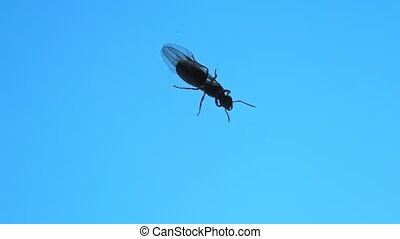 Close up of a winged queen of a black garden ant, isolated on blue sky background. Lasius niger species ant, a insectivorous ant occurring in the grassland of Italy in Elba Island. bottom view