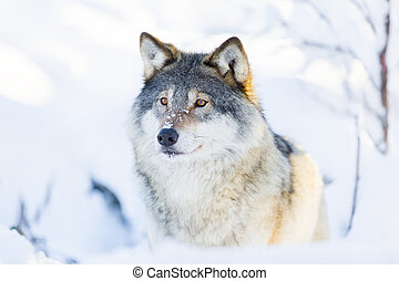 Close-up of a wolf standing in the snow