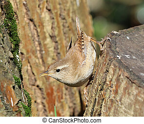 Close up of a Wren searching for food on a tree trunk