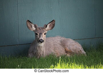 Close up of a yearling buck