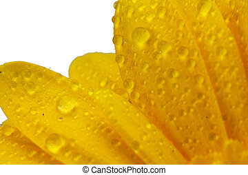Close up of a yellow berbera daisy