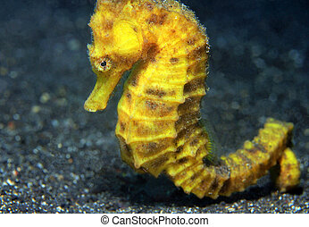 Close-up of a Yellow Common Seahorse (Hippocampus...