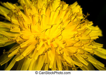 Close-up of a yellow dandelion flower on dark background