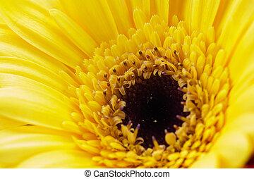 Close up of a yellow gerbera daisy