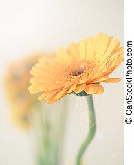 Close up of a yellow Gerbera