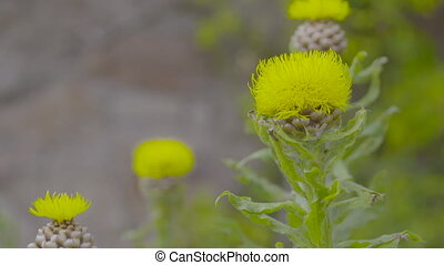 Close up, rack focus of several yellow thistle flowers and their stalks, with a view in the background of a stone structure