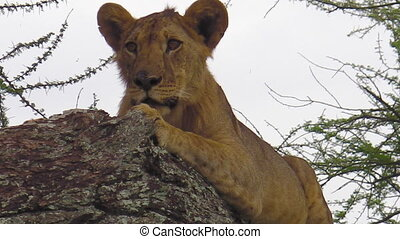 young lion on tree - close up of a young lion on tree in the...