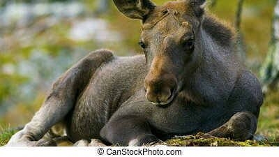 Close-up of a young moose calf on the forest floor -...