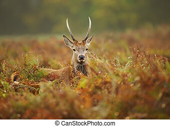 Close up of a young red deer stag in the field of fern