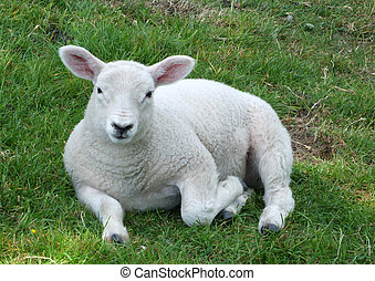 close up of a young spring lamb sitting in a field