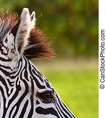 Close up of a Zebra