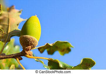 Close up of acorn