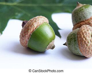acorn seeds