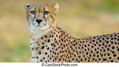 Close-up of adult cheetah walking in the grass - Portrait of...