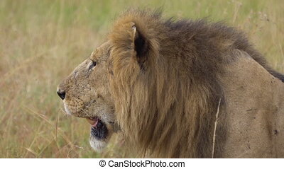 Close Up of Adult Male Lion aka Panthera Leo. Wild Carnivore Animal Looking For Prey in Natural Habitat
