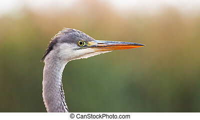 Close-up of alert grey heron looking from side view in ...