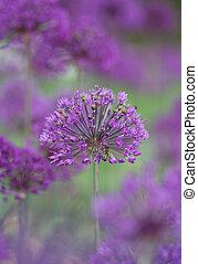 allium - Close-up of allium in full bloom