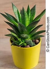 close up of aloe vera plant in yellow ceramic pot, houseplant, domestic gardening.