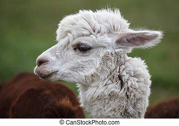 Close up of alpaca on the farm - An alpaca (Vicugna pacos)...