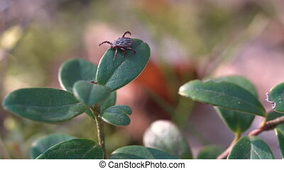 Close up of American dog tick crawling on cranberry leaf in ...