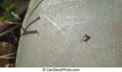 Close up of American dog tick crawling up the rubber boot ...