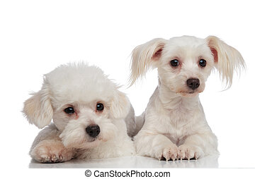 close up of an adorable tired bichon couple