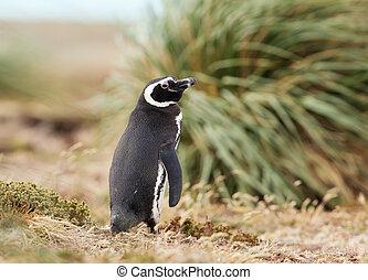 Close up of an adult Magellanic penguin